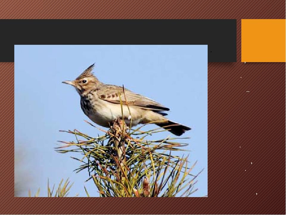 ЖАВОРОНОК Маленькая птичка, живущие на земле. Окрашен неярко – коричневые с п...