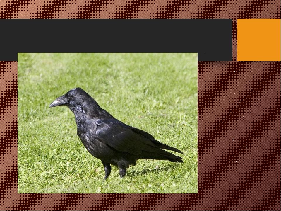 ГРАЧ Первая перелетная птица, извещает нас о наступлении весны. Перья черные,...