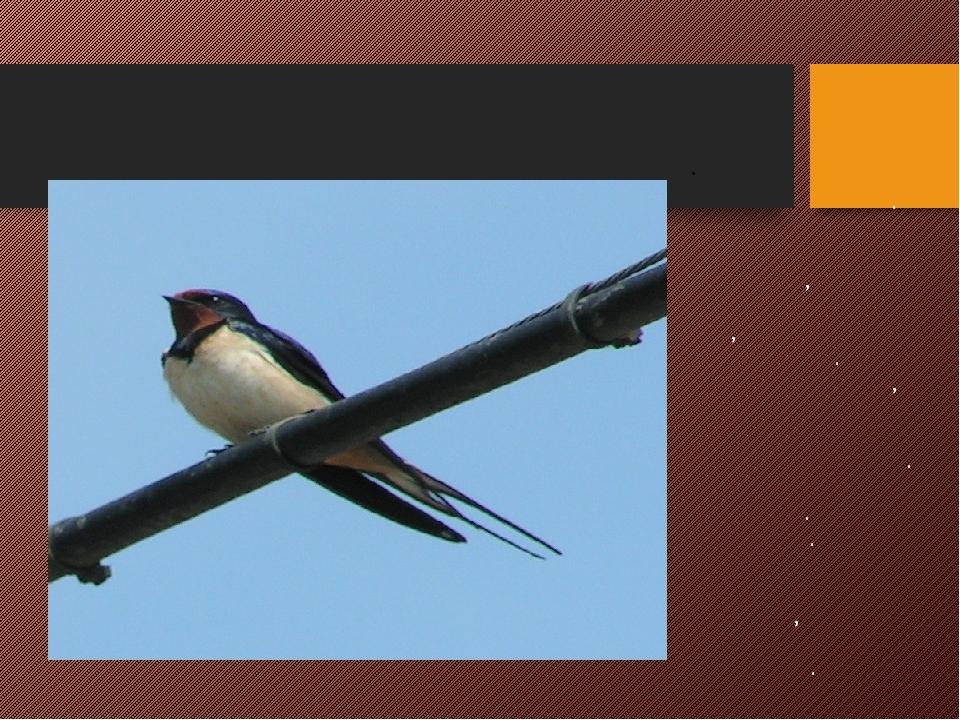 ЛАСТОЧКА Одна из самых быстрых птиц. Форма их тела идеальна для полета, крыль...