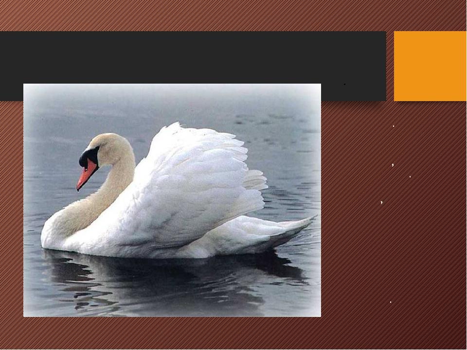 ЛЕБЕДЬ Самая крупная водная птица. Оперение бывает белое, серое и черное. Дли...