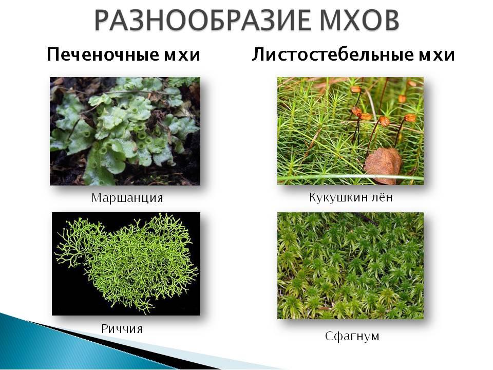 Виды мхов и их названия в картинках