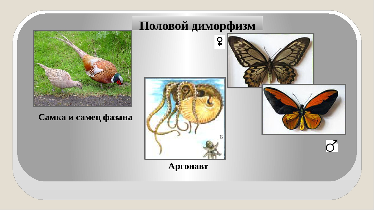 Половой диморфизм Самка и самец фазана Аргонавт