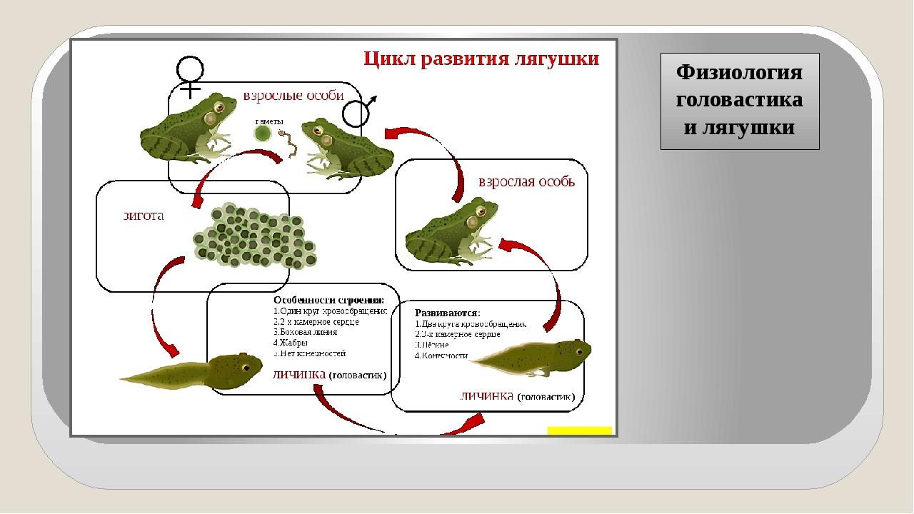 Физиология головастика и лягушки