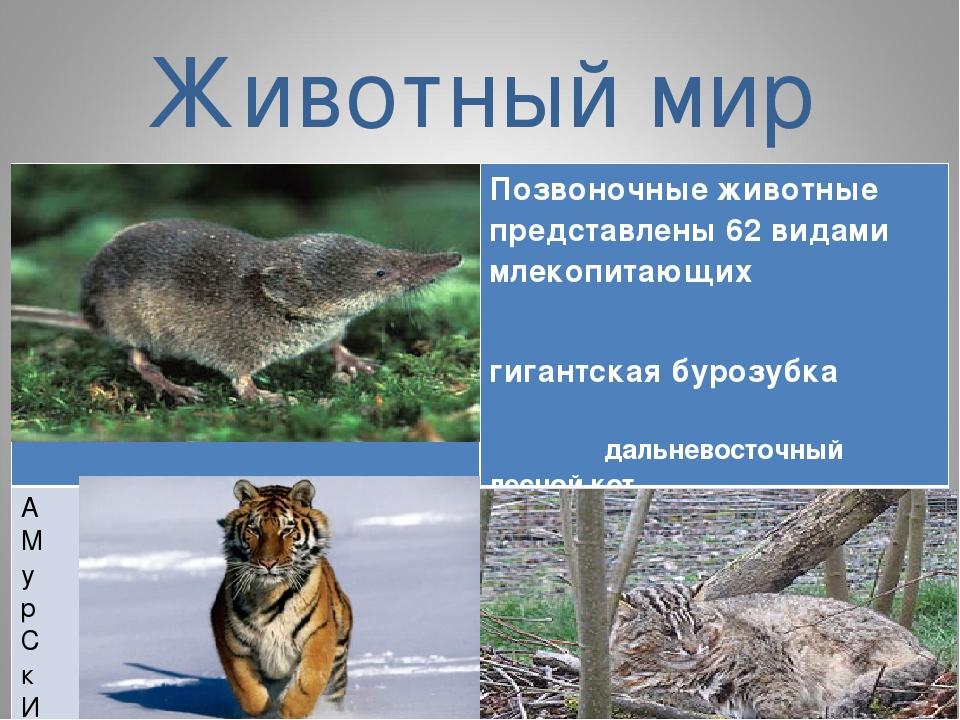 Животный мир Позвоночные животные представлены 62 видами млекопитающих гиган...