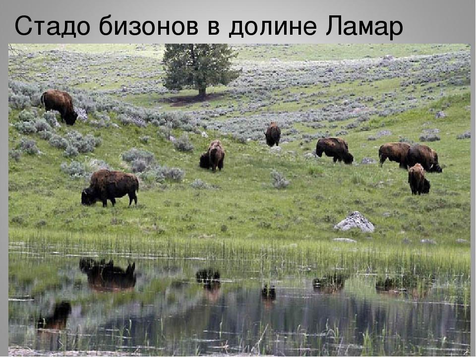 Стадо бизонов в долине Ламар