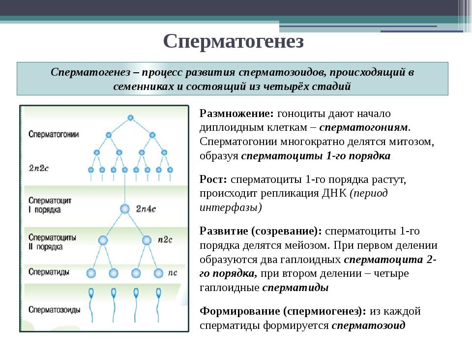 Сперматогенез Размножение: гоноциты дают начало диплоидным клеткам – спермато...