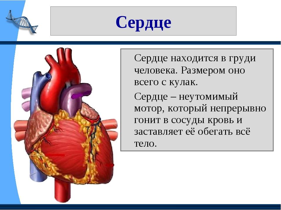 Сердце Сердце находится в груди человека. Размером оно всего с кулак. Сердц...