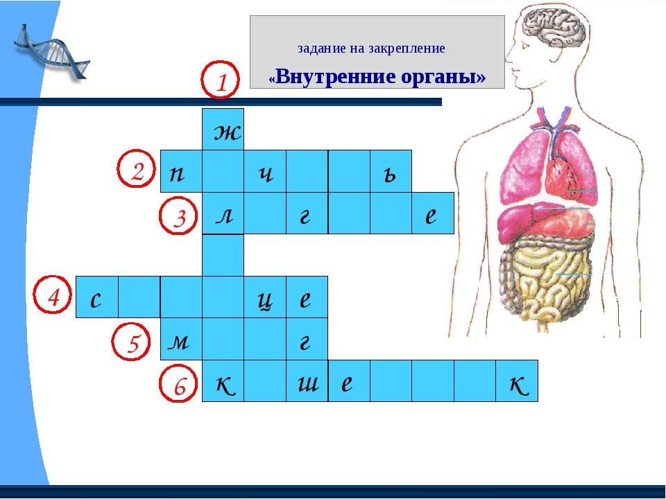 задание на закрепление «Внутренние органы» 1 2 3 4 5 6