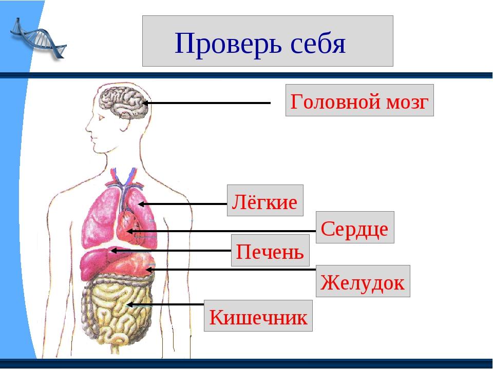 Проверь себя Головной мозг Лёгкие Сердце Печень Желудок Кишечник