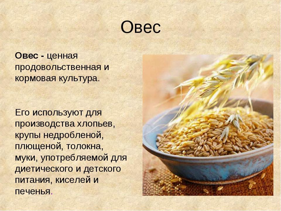 Овес Овес - ценная продовольственная и кормовая культура. Его используют для...