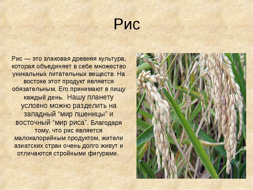 Рис Рис — это злаковая древняя культура, которая объединяет в себе множество...