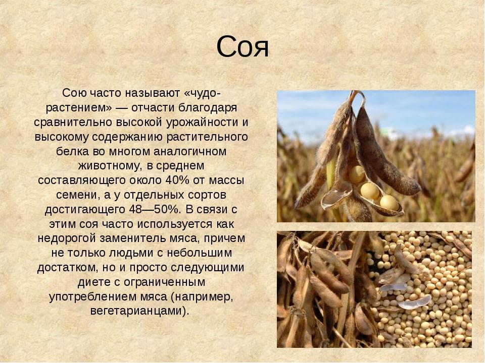 Соя Сою часто называют «чудо-растением»— отчасти благодаря сравнительно высо...