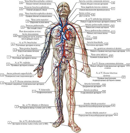 путь артерии строение в картинках каталоге можно ознакомиться