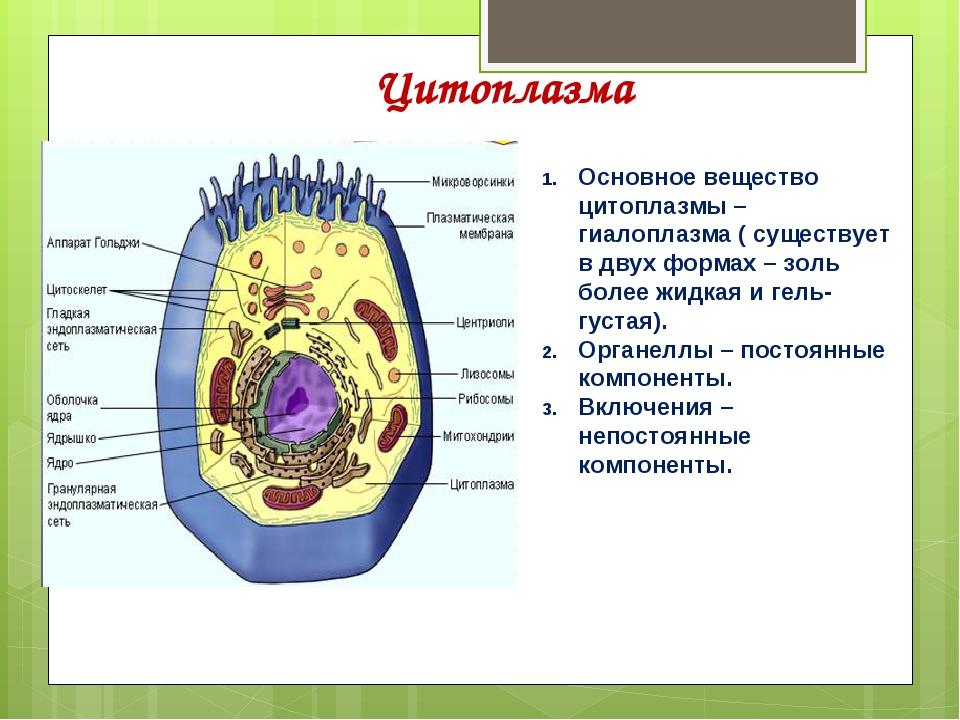 картинки цитоплазма клетки упомянуть, что особенно