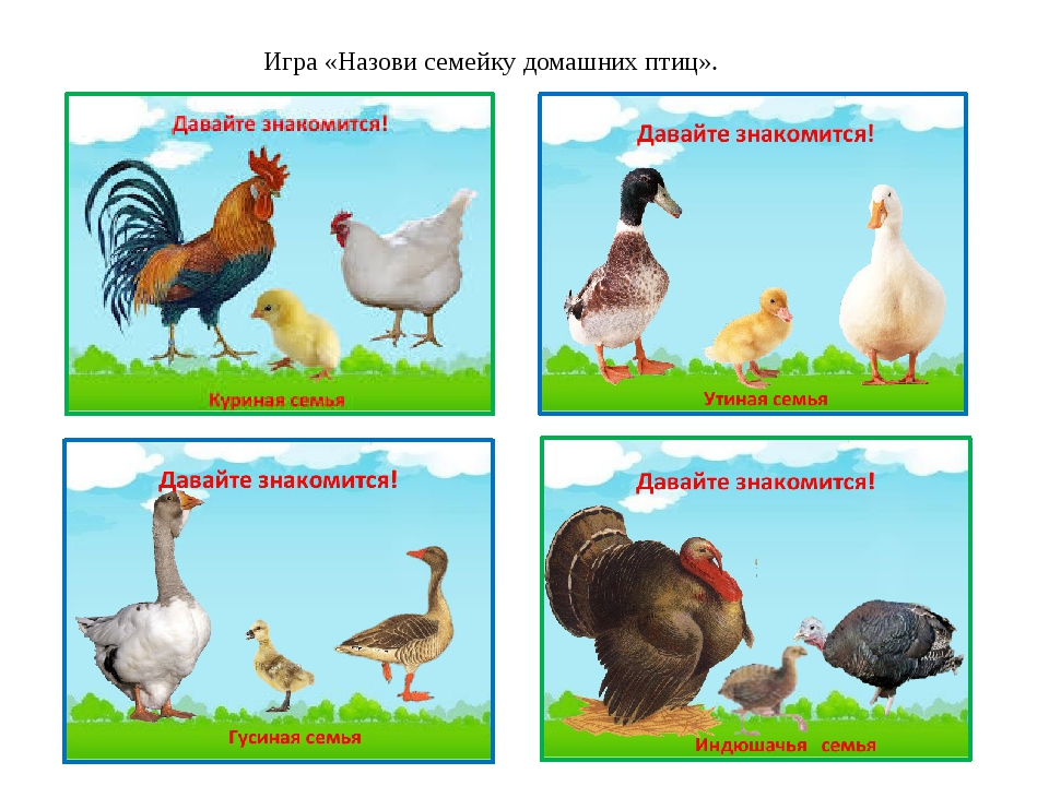 Картинка семья домашних птиц период