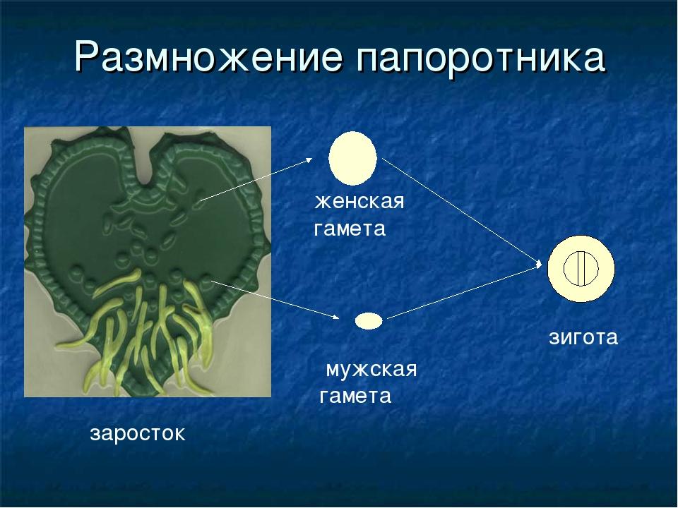 Размножение папоротника заросток мужская гамета женская гамета зигота