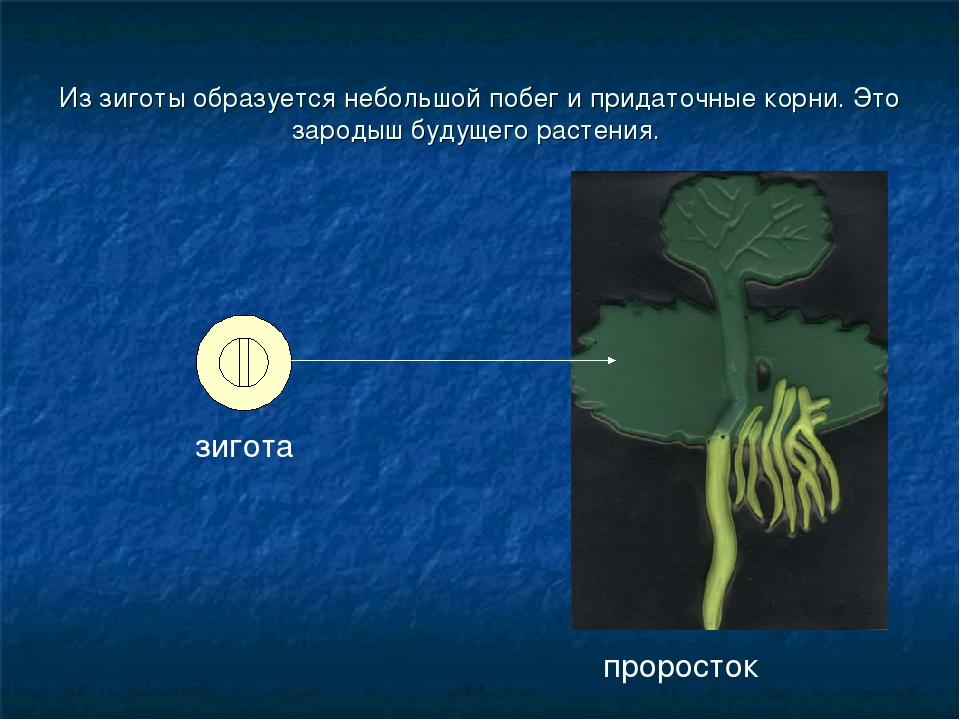 Из зиготы образуется небольшой побег и придаточные корни. Это зародыш будущег...
