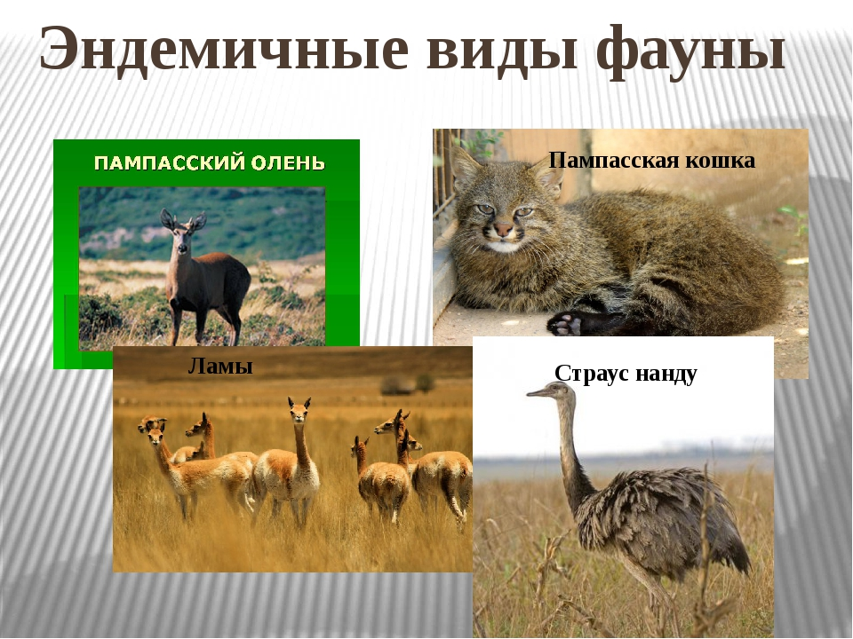 Эндемичные виды фауны Пампасская кошка Ламы Страус нанду