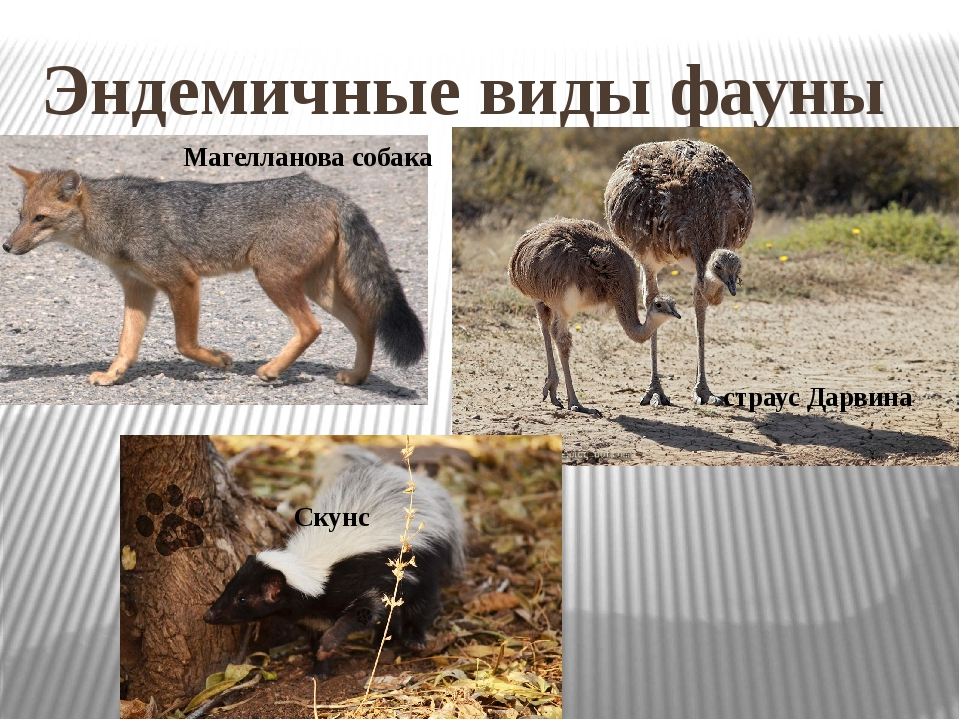 Эндемичные виды фауны Магелланова собака страус Дарвина Скунс