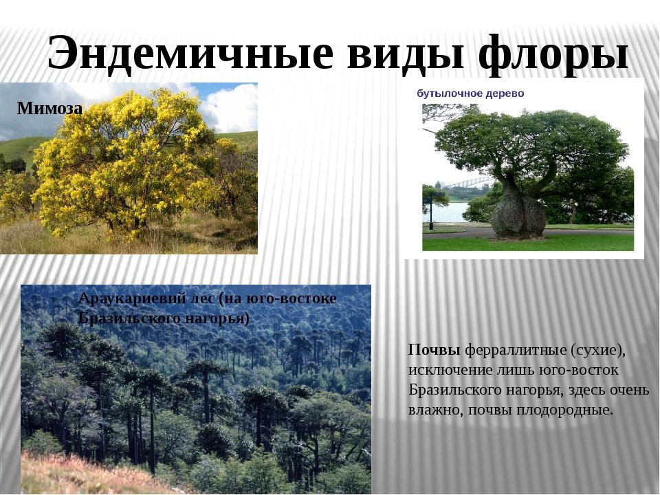 Эндемичные виды флоры Мимоза Араукариевий лес (на юго-востоке Бразильского на...