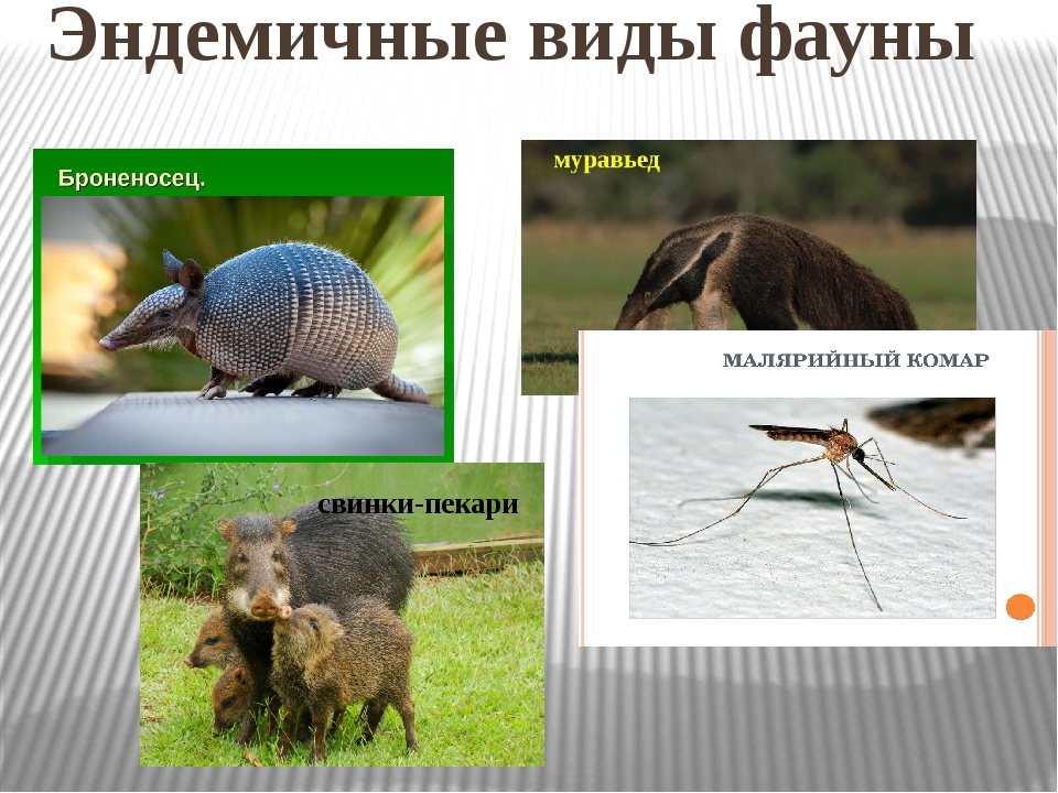 Эндемичные виды фауны свинки-пекари