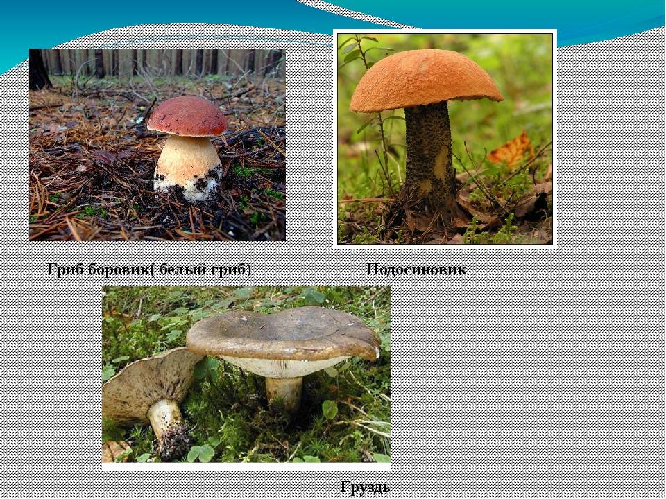 Гриб боровик( белый гриб) Подосиновик Груздь