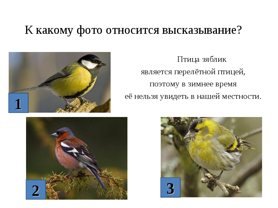 К какому фото относится высказывание? Птица зяблик является перелётной птицей...