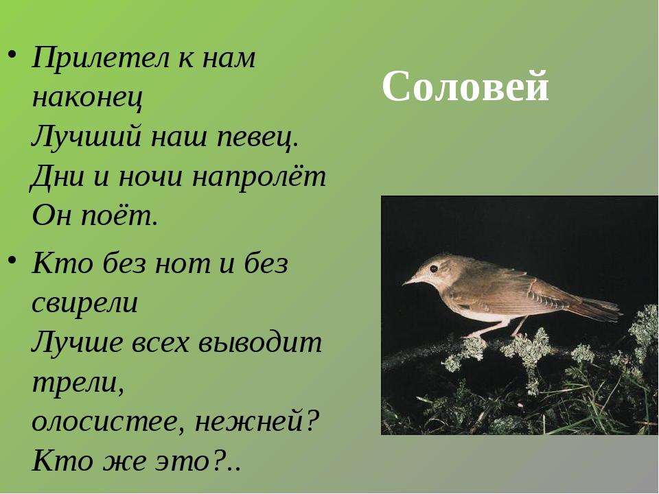 Соловей Прилетел к нам наконец Лучший наш певец. Дни и ночи напролёт Он поёт....