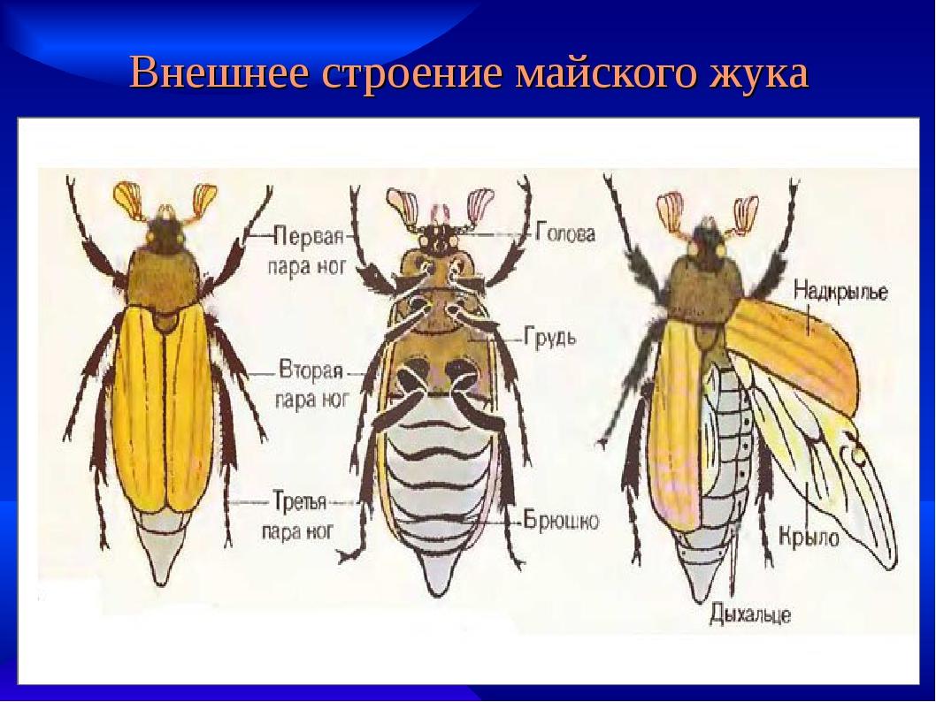 вообще подглядывание строение надкрыльев майского жука фото айеша