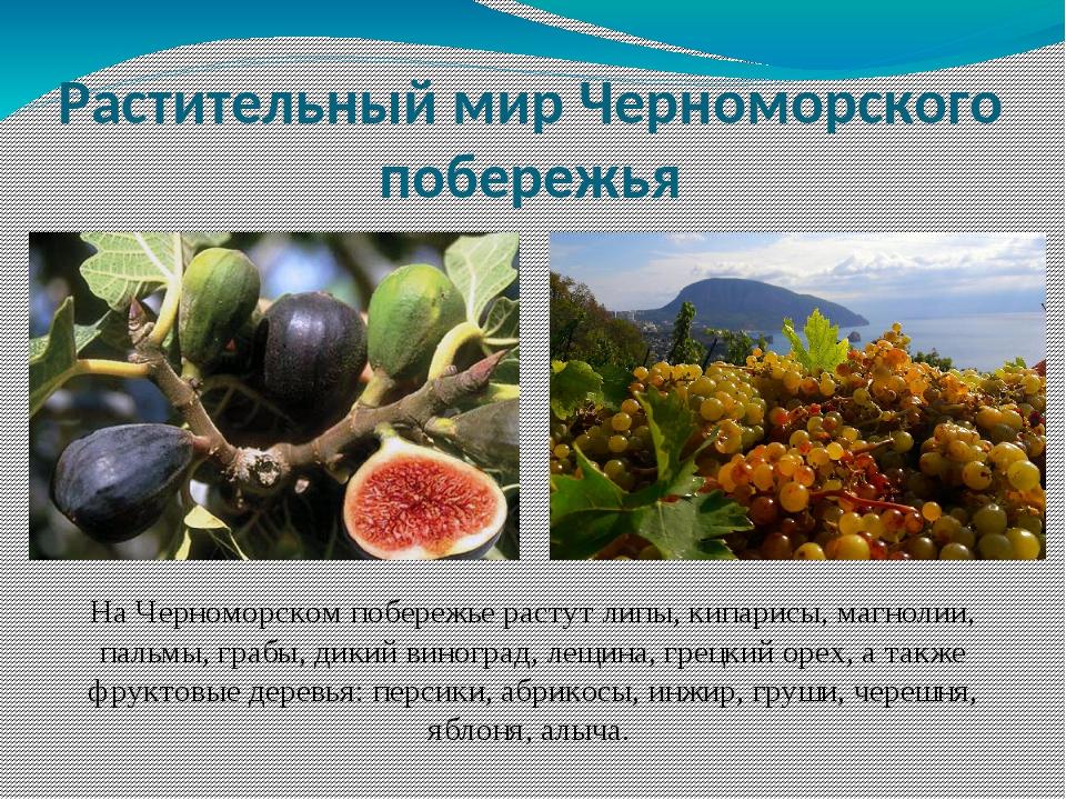 На Черноморском побережье растут липы, кипарисы, магнолии, пальмы, грабы, дик...