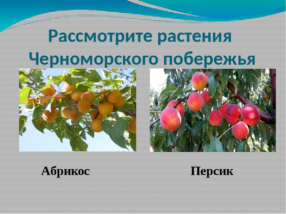 Абрикос Персик Рассмотрите растения Черноморского побережья