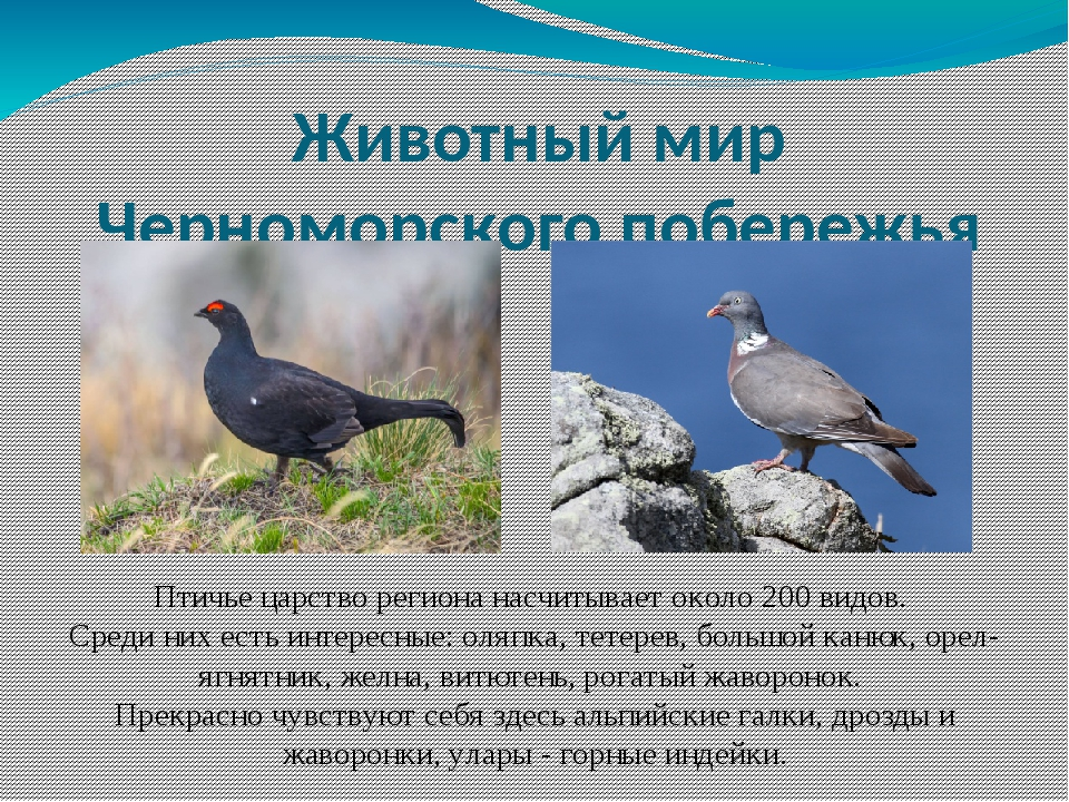 Животный мир Черноморского побережья Птичье царство региона насчитывает около...