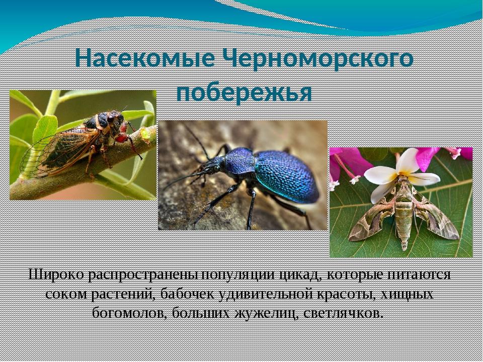 Широко распространены популяции цикад, которые питаются соком растений, бабоч...