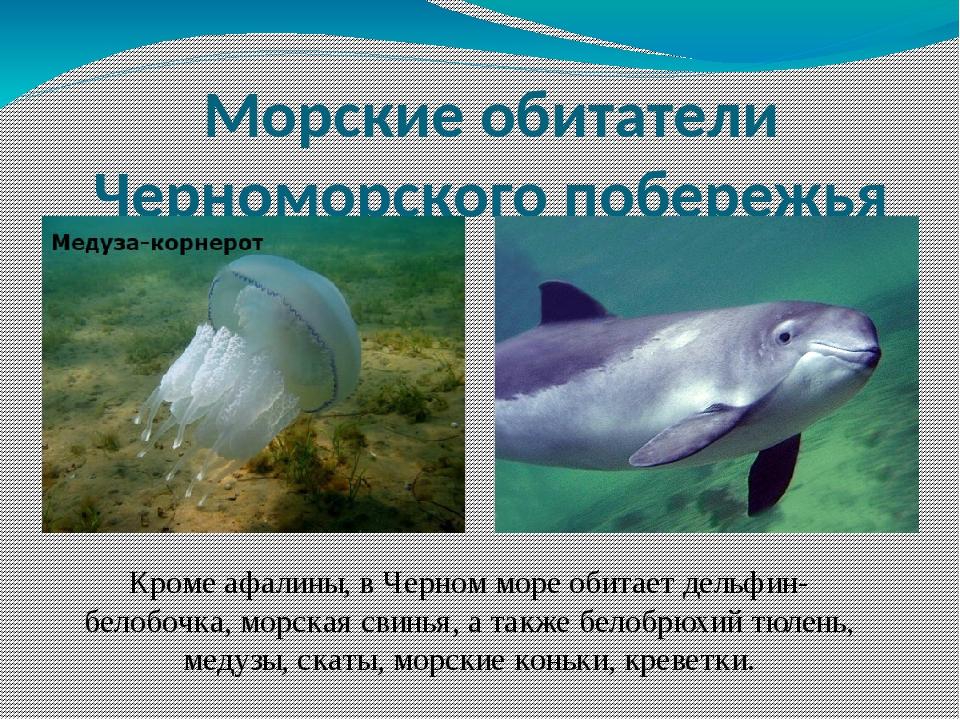 Морские обитатели Черноморского побережья Кроме афалины, в Черном море обитае...