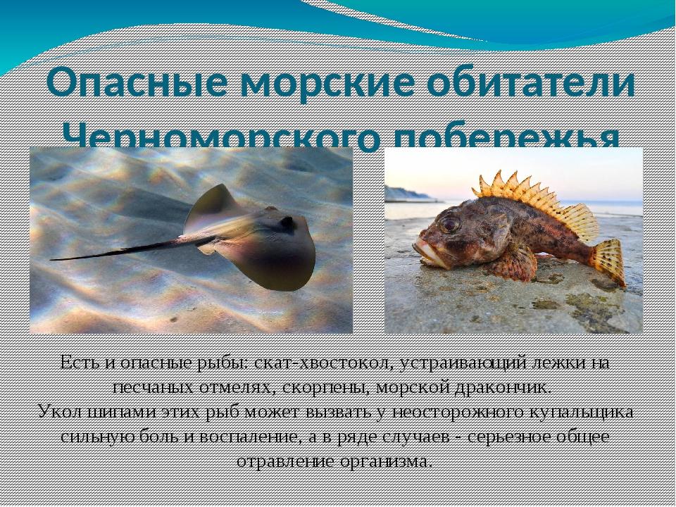 Опасные морские обитатели Черноморского побережья Есть и опасные рыбы: скат-х...