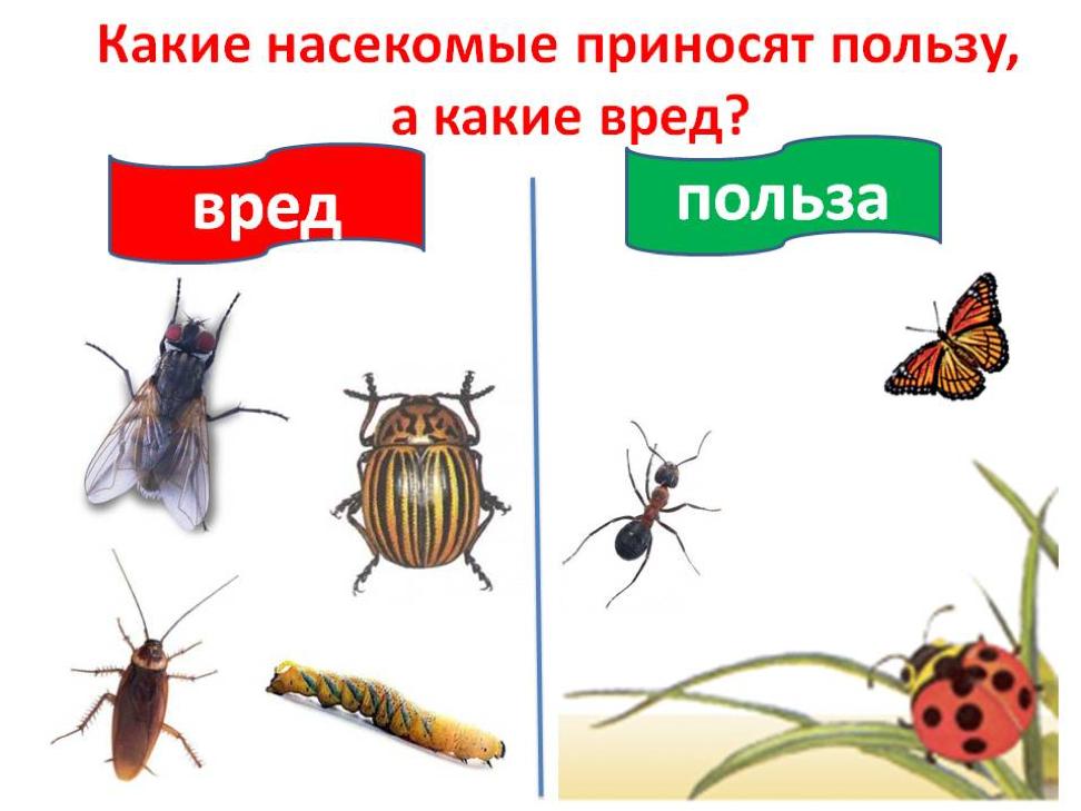 вредные и полезные насекомые с картинками годами персика превратилась