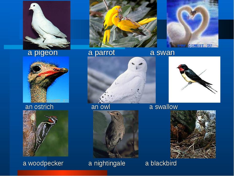 a pigeon a parrot a swan an ostrich an owl a swallow a woodpecker a nighting...