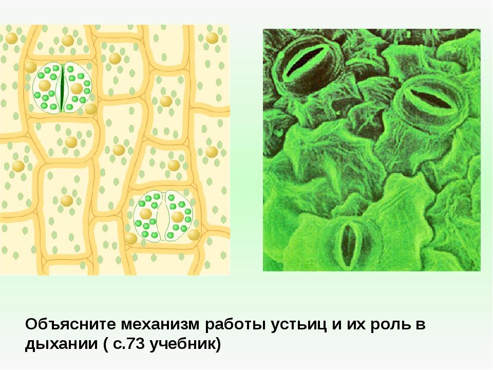 биология описание и фото устьиц отвечает защиту