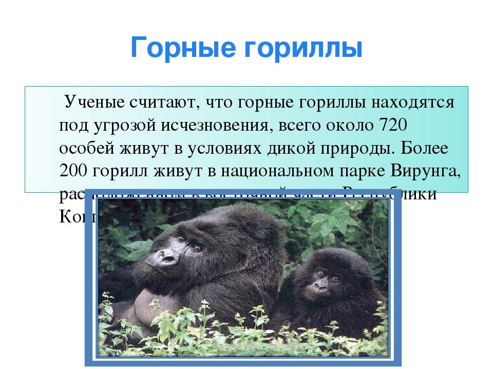 Горные гориллы Ученые считают, что горные гориллы находятся под угрозой исчез...