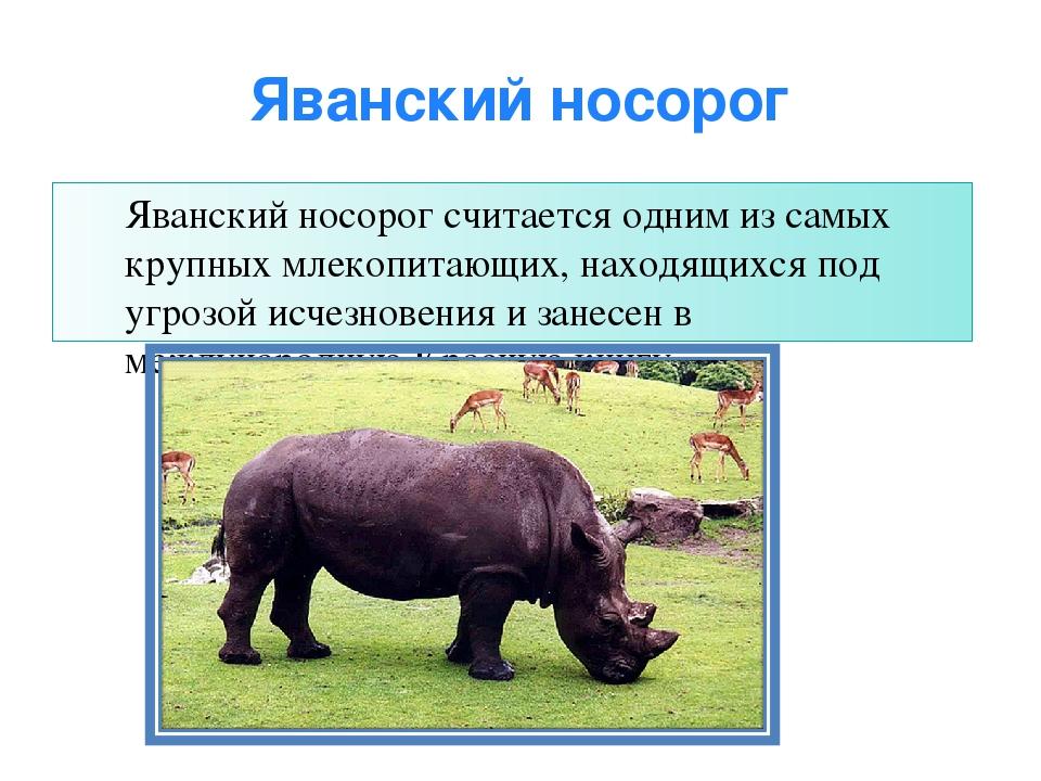 Яванский носорог Яванский носорог считается одним из самых крупных млекопитаю...