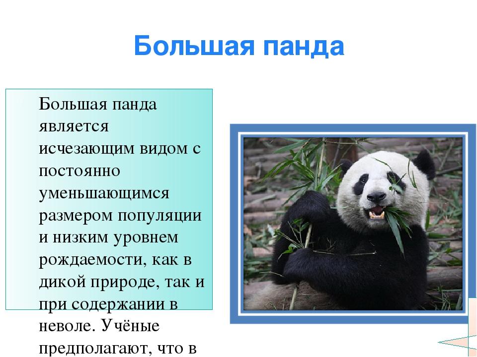 Большая панда Большая панда является исчезающим видом с постоянно уменьшающим...