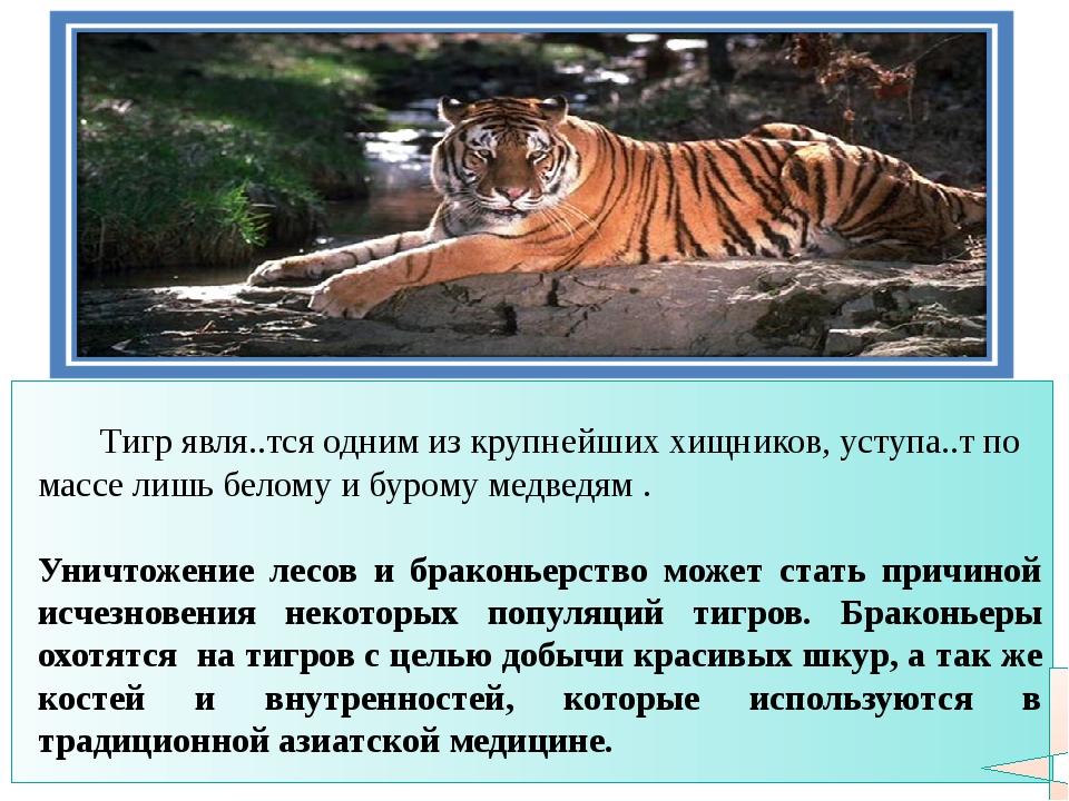Тигр явля..тся одним из крупнейших хищников, уступа..т по массе лишь белому...
