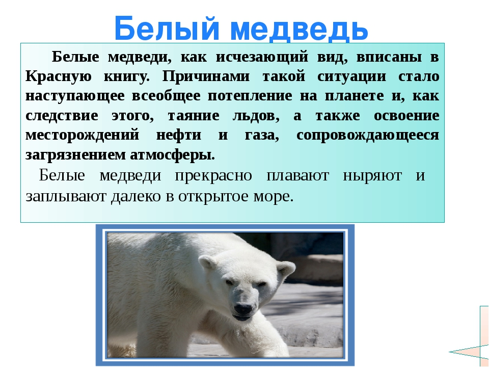 Белый медведь Белые медведи, как исчезающий вид, вписаны в Красную книгу. При...