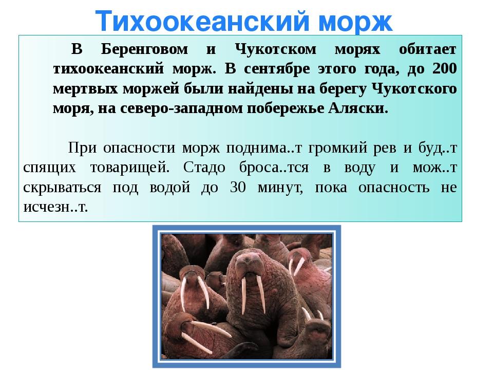 Тихоокеанский морж В Беренговом и Чукотском морях обитает тихоокеанский морж....