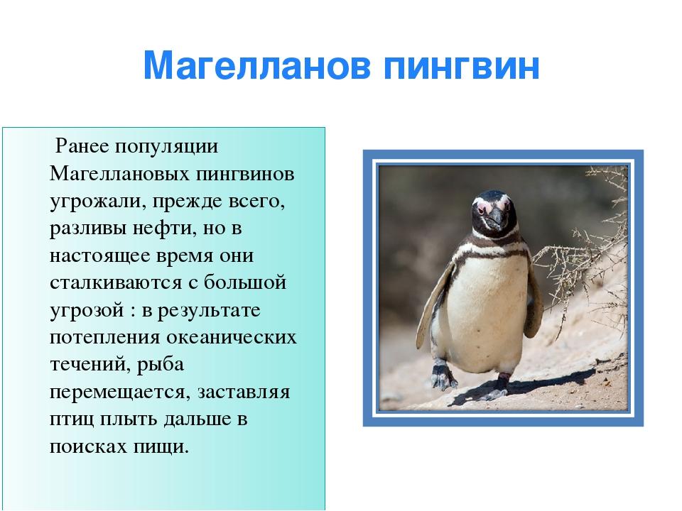 Магелланов пингвин Ранее популяции Магеллановых пингвинов угрожали, прежде вс...
