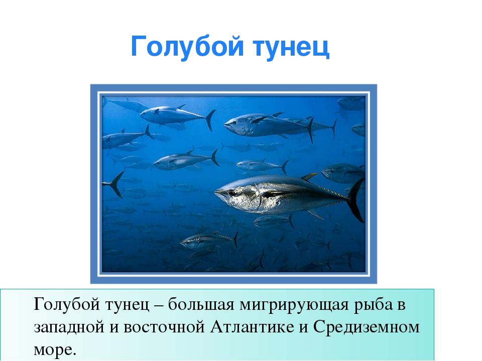 Голубой тунец Голубой тунец – большая мигрирующая рыба в западной и восточной...