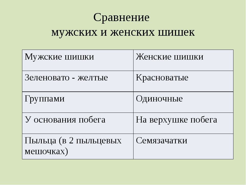 Сравнение мужских и женских шишек Мужские шишки Женские шишки Зеленовато - же...
