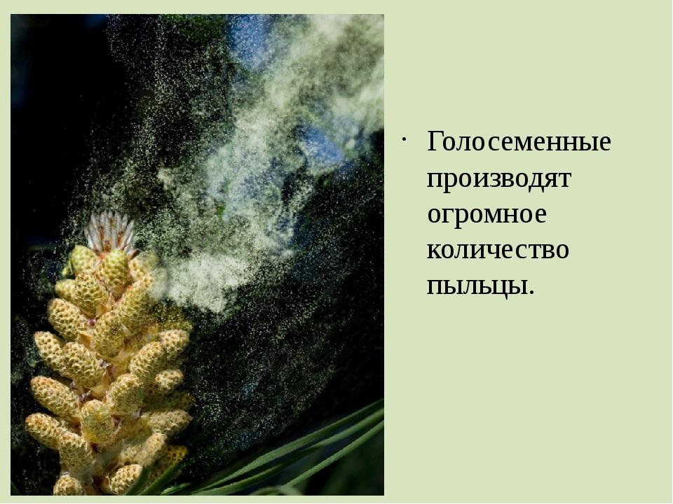 Голосеменные производят огромное количество пыльцы.