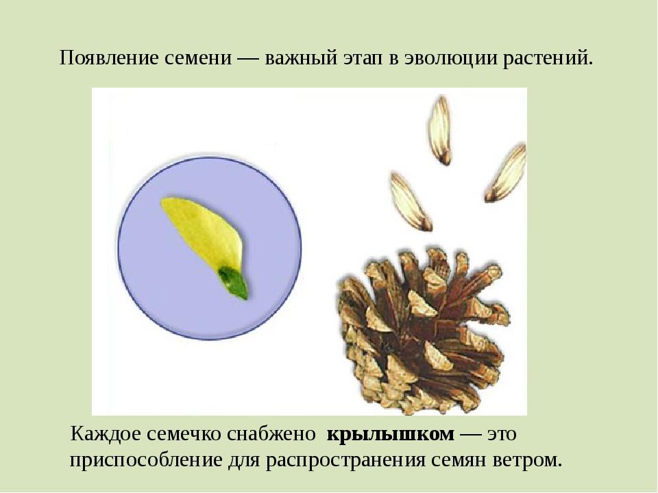 Каждое семечко снабжено крылышком — это приспособление для распространения се...
