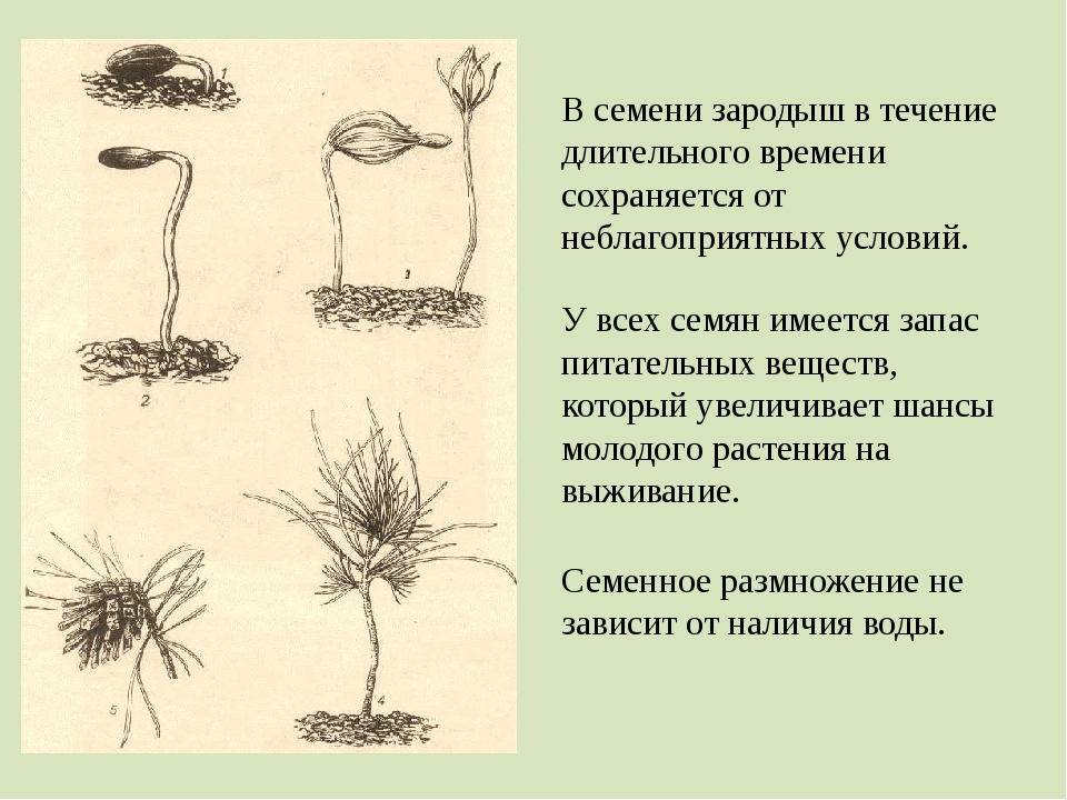 В семени зародыш в течение длительного времени сохраняется от неблагоприятных...